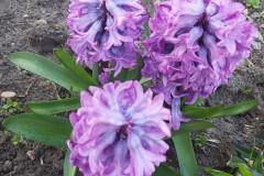 Alicja.Bielecka.Kwiaty-w-mamy-ogrodku.Romaszki.2021.04.21