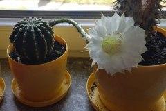 Andrzej Niedźwiedź. Wiosenne przebudzenie kaktusa. Rossosz