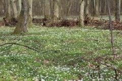 Joanna Niedźwiedź. Biały dywan w lesie. Korzanówka